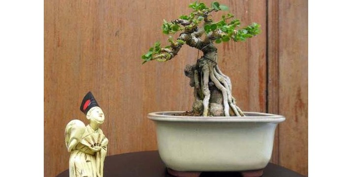 Mame Bonsai: Cara Membentuk Bonsai Berukuran Mini Yang Indah Untuk Koleksi