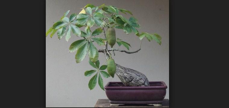 Bonsai Pohon Uang (Pachira aquatica): Cara Merawat & Panduan Pembuatan Bonsai Pohon Uang