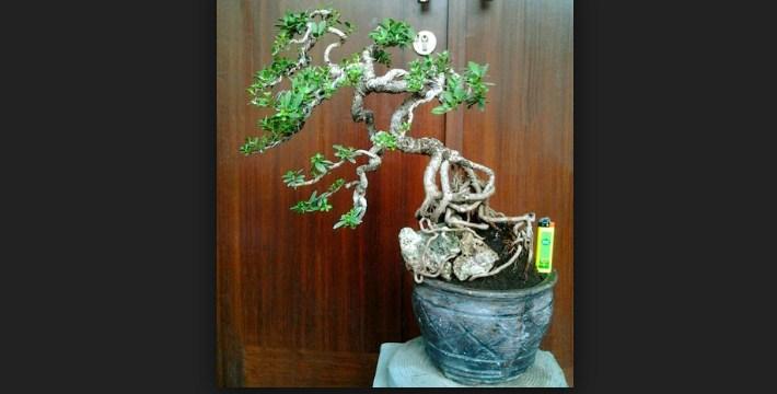 Root Graft Bonsai: Yang Baik Untuk Bonsai Menjadi Lebih Baik