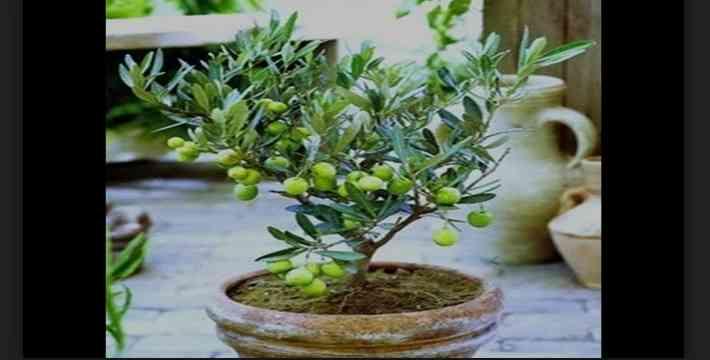 Cara Buat Bonsai Pohon Zaitun Cukup Simpel & Sederhana