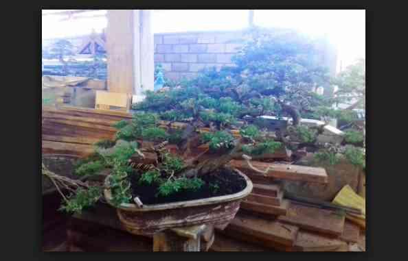 Hal Berikut Yang Perlu Di Hindari Saat Anda Menanam Pohon Bonsai