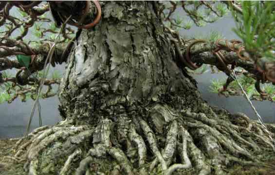 Cara Praktis Membentuk Batang Pohon Bonsai Jadi Unik