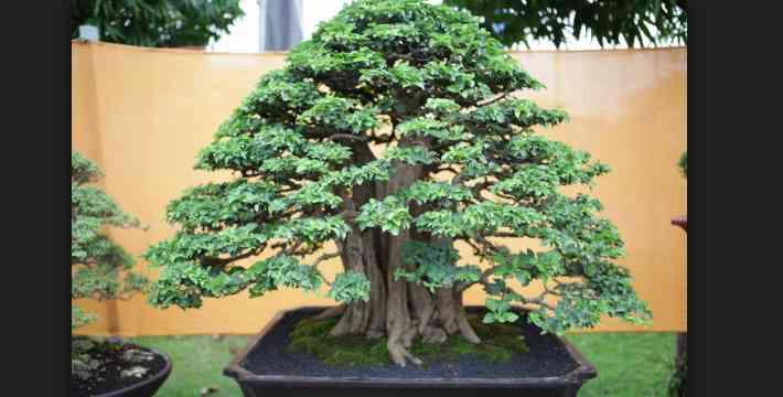Bonsai Jepang: Budaya Keindahan & Nilai Mistik Miniatur Pohon