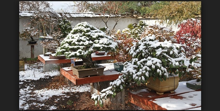 Tips Membuat Bonsai Lebih Dari Wintering Bonsai