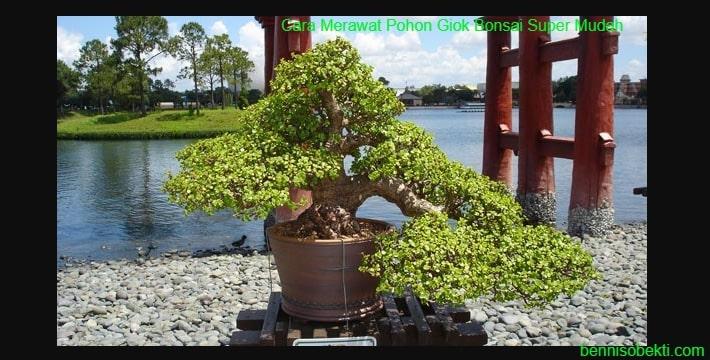 Cara Merawat Pohon Giok Bonsai Super Mudah