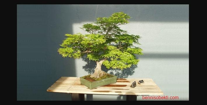 Tips Pencahayaan Pohon Bonsai Yang Tepat