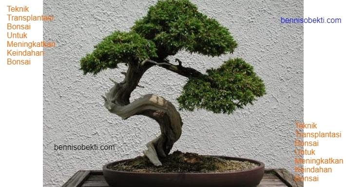 Teknik Transplantasi Bonsai Untuk Meningkatkan Keindahan Bonsai
