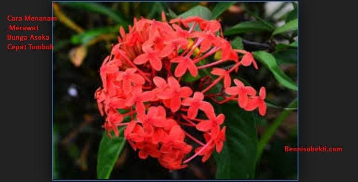 Cara Menanam & Merawat Bunga Asoka Cepat Tumbuh