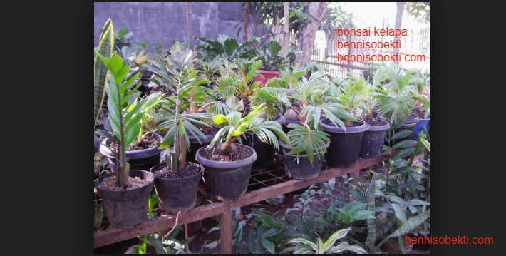Bonsai Kelapa Butuh Sebuah Pengakuan Dari Masyarakat