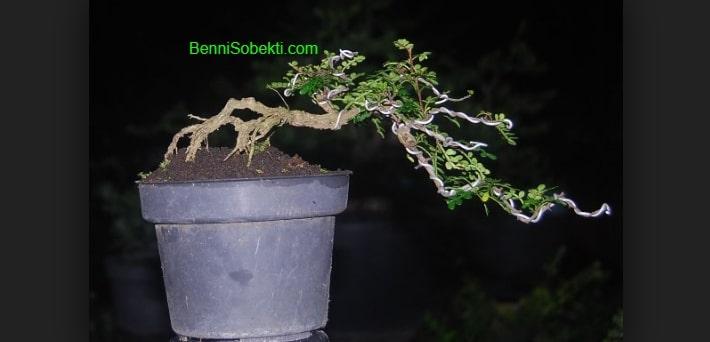 Tips Mengenal & Cara Pengawatan Pohon Bonsai