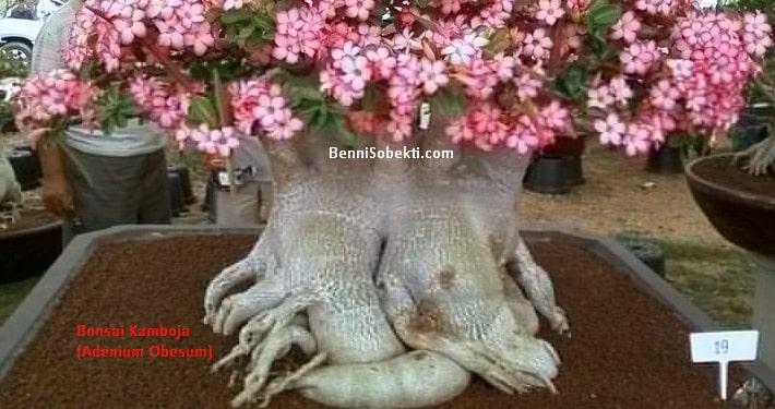Bonsai Kamboja: Cara Merawat Bonsai Adenium Obesum (The Desert Rose)