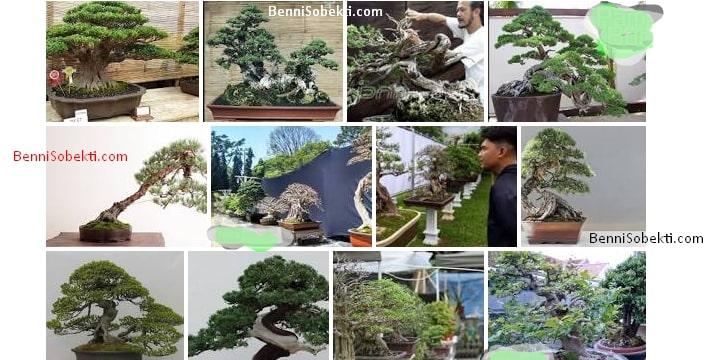 Macam Bonsai Indonesia Yang Banyak Di Sukai