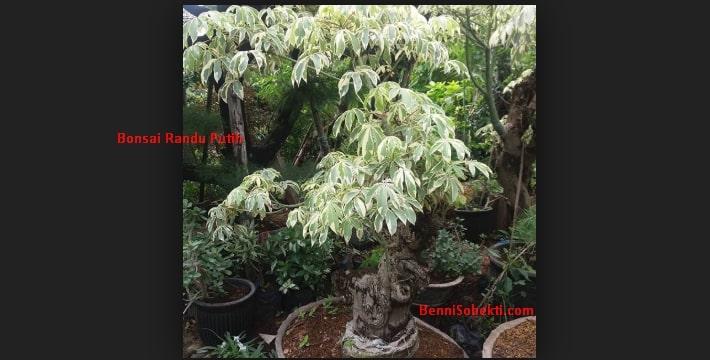 Bonsai Randu Putih: Tanaman Hias Cocok Untuk Tamanmu