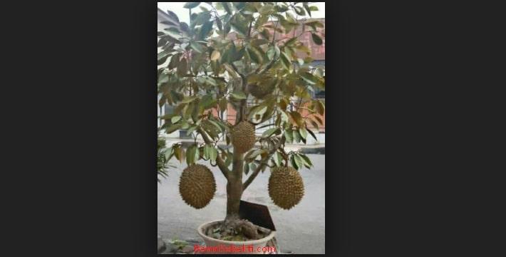 Bonsai Durian Cara Jitu Menanam Tanaman Durian Cepat Berbuah