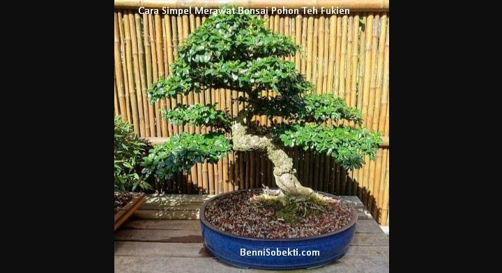 Cara Simpel Merawat Bonsai Pohon Teh Fukien