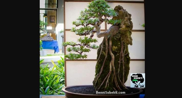 Hal Penting Dalam Membentuk Pohon Bonsai