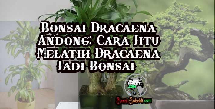Bonsai Dracaena (Andong): Cara Jitu Melatih Dracaena Jadi Bonsai